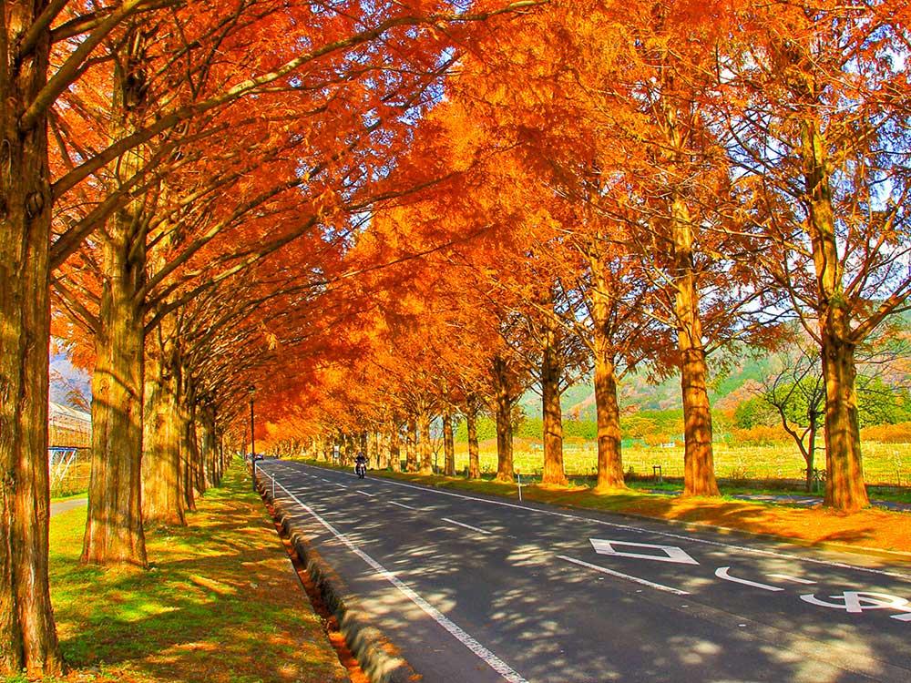 メタセコイア並木の紅葉風景